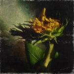 summer's end sunflower photograph